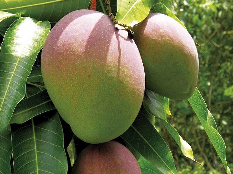 kent-mangoes-792x591-c-default